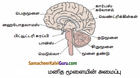 Samacheer Kalvi 10th Science Guide Chapter 15 நரம்பு மண்டலம் 70