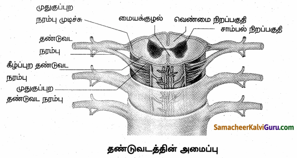 Samacheer Kalvi 10th Science Guide Chapter 15 நரம்பு மண்டலம் 80