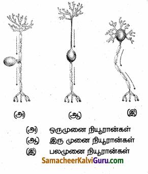Samacheer Kalvi 10th Science Guide Chapter 15 நரம்பு மண்டலம் 86