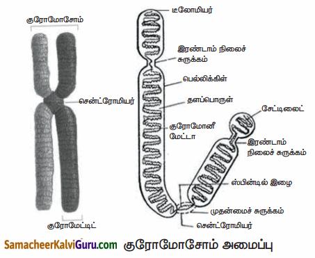 Samacheer Kalvi 10th Science Guide Chapter 18 மரபியல் 85