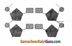 Samacheer Kalvi 10th Science Guide Chapter 18 மரபியல் 88