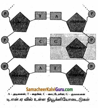Samacheer Kalvi 10th Science Guide Chapter 18 மரபியல் 89