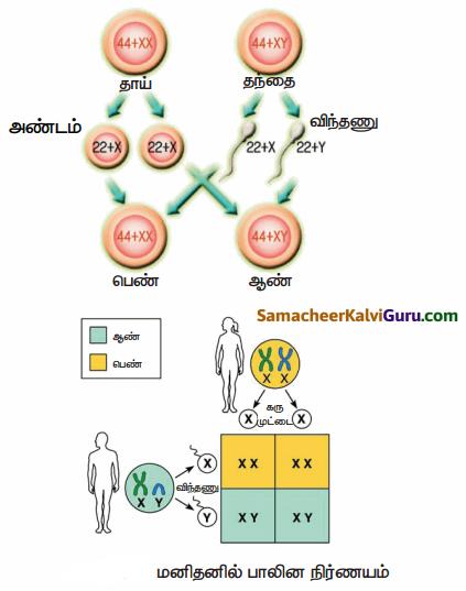 Samacheer Kalvi 10th Science Guide Chapter 18 மரபியல் 90
