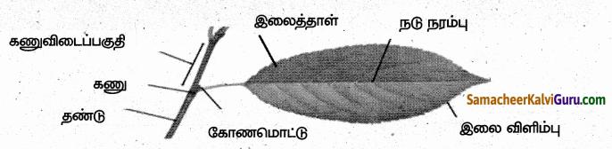 Samacheer Kalvi 6th Science Guide Term 1 Chapter 4 தாவரங்கள் வாழும் உலகம் 95