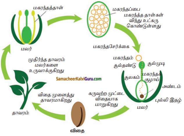 Samacheer Kalvi 7th Science Guide Term 1 Chapter 5 தாவரங்களின் இனப்பெருக்கம் மற்றும் மாற்றுருக்கள் 10